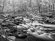 Monochrome study of a flowering dogwood (Cornus Florida) overhanging the Little River near Tremont, Great Smoky Mountains National Park, Tennessee, USA. Due to disease (dogwood anthracnose fungus), these trees are listed as endangered in many US states.