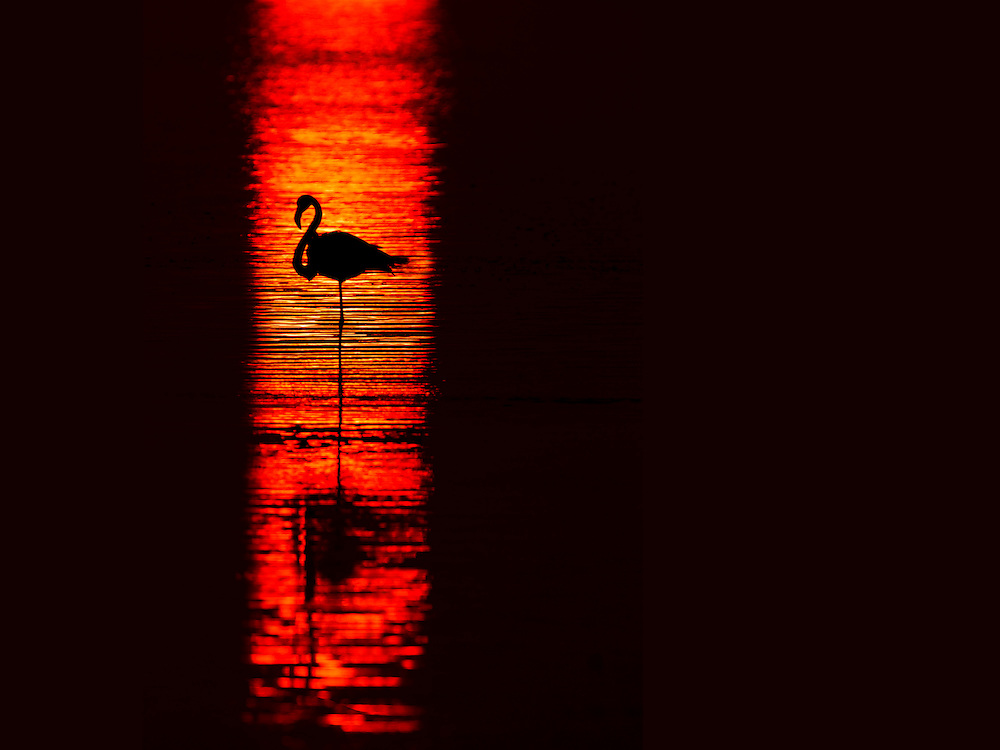 A flamingo stands in the reflection of the setting sun, Dorob National Park, Namibia.