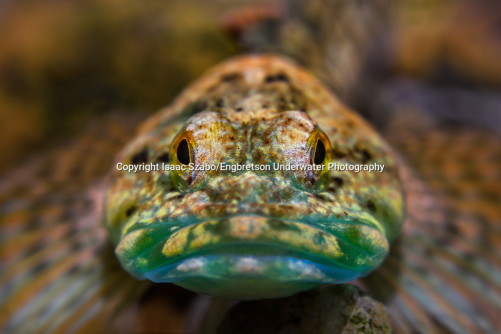 Knobfin Sculpin<br />