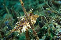 A cowfish hiding amongst algae and sponges, Ambon, Indonesia.