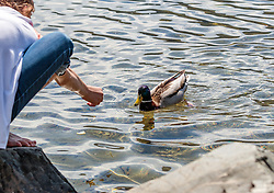 THEMENBILD - ein Kind füttert eine Ente, aufgenommen am 1. Mai 2017, Zell am See, Österreich // a child feeding a duck on the Lake Zell at Zell am See, Austria on 2017/05/01. EXPA Pictures © 2017, PhotoCredit: EXPA/ JFK