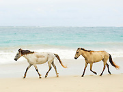 Horses walking on a beach in the Dominican Republic
