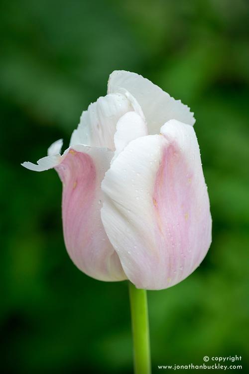 Tulip 'Apricot Pride'