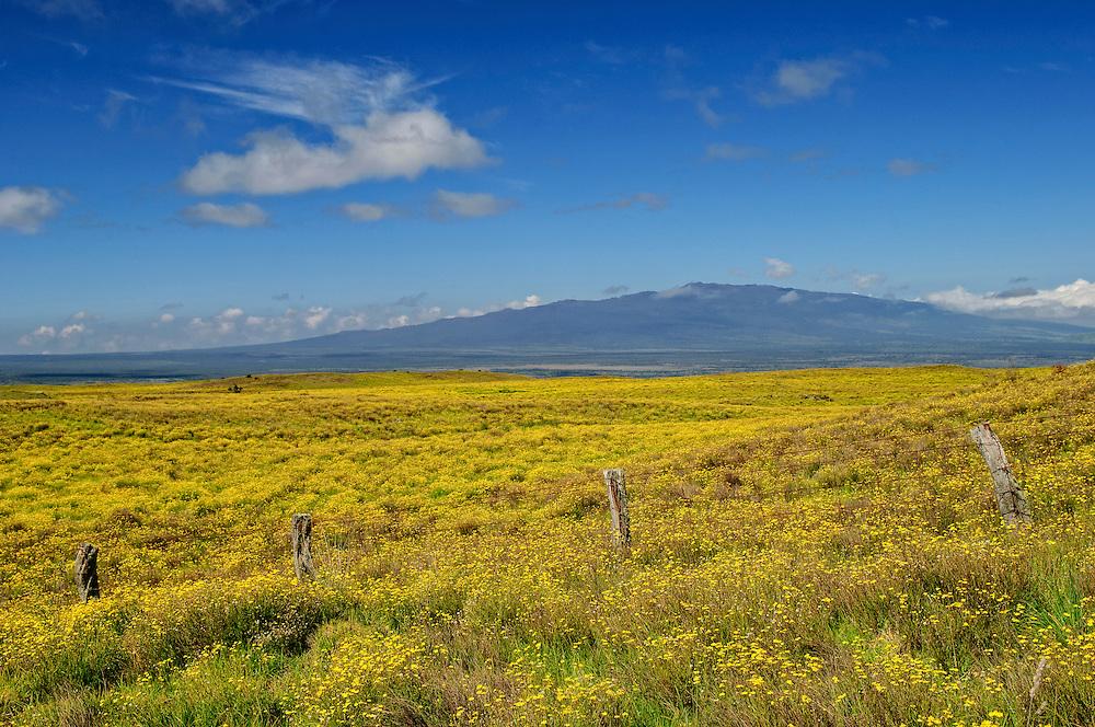 Wildflowers along Saddle Road and view to Kohala Mountains, Island of Hawaii.