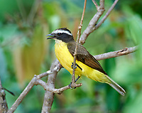 Lesser Kiskadee (Philohydor lictor), Araras Ecolodge,  Mato Grosso, Brazil (Photo: Peter Llewellyn)
