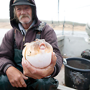 Commercial fisherman Chet holding up a pufferfish, one of the species of fish commonly caught in the pound traps.