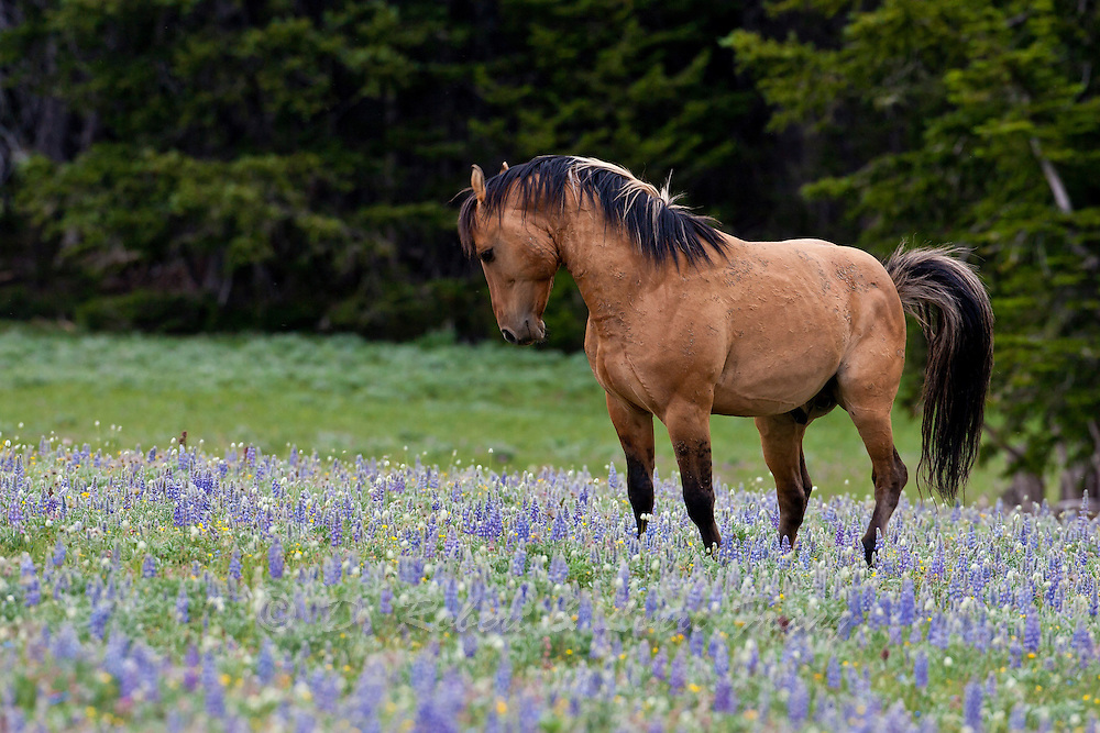 Wild horse or mustang, band stallion in wildflowers