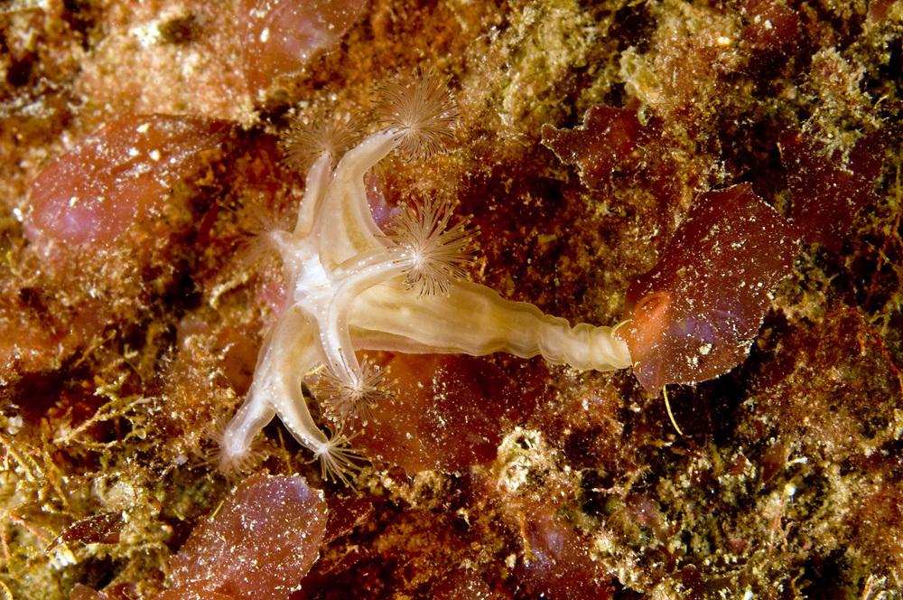 Stalked jellyfish (Lucernaria quadricornis). Location : Stavanger, Norway