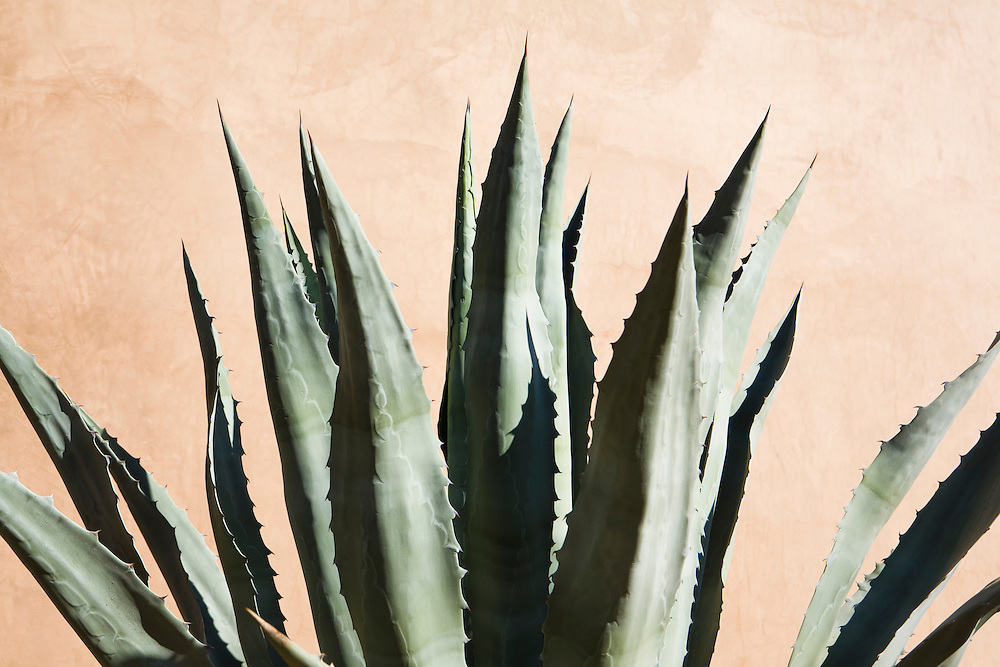 An Agave plant against a adobe wall, Phoenix, Arizona, USA.