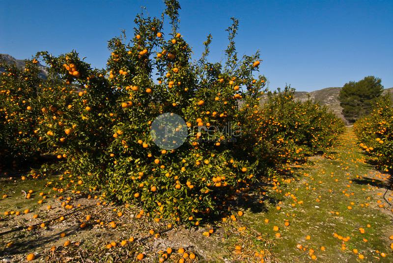 Naranjos. Vall de Gallinera. Alicante