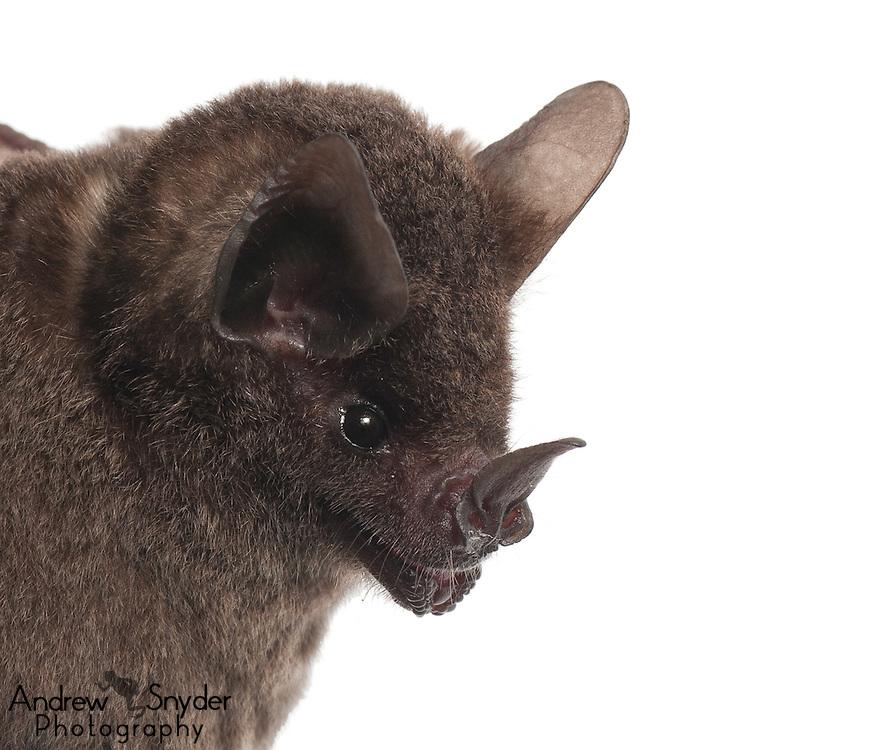 Seba's short-tailed bat (Carollia perspicillata) - Guyana
