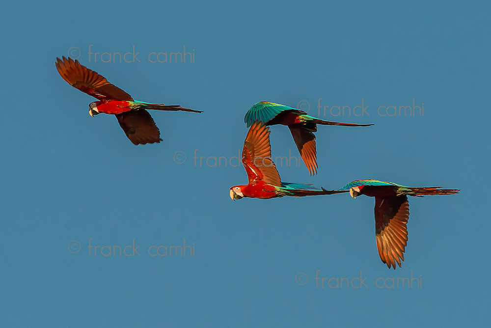 flock of macaws flying in the peruvian Amazon jungle at Madre de Dios Peru
