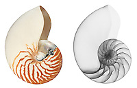 Reflective and x-ray photography study of a chambered nautilus shell (Nautilus pompilius, on white) by Jim Wehtje, specialist in x-ray art and design images.