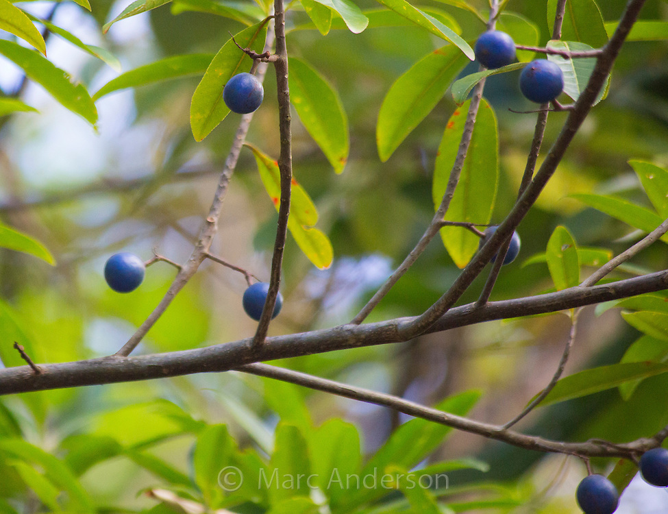 Elaeocarpus grandis fruits (Blue Quandong) in the Daintree rainforest, Queensland, Australia