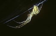 Hammock Web Spider