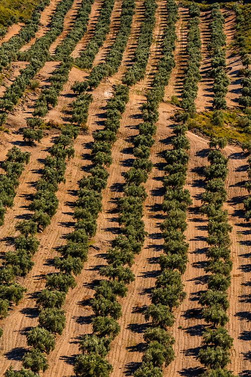 Olive trees, near the Gorafe Megalithic Park, Gorafe, Granada Province, Andalusia, Spain.