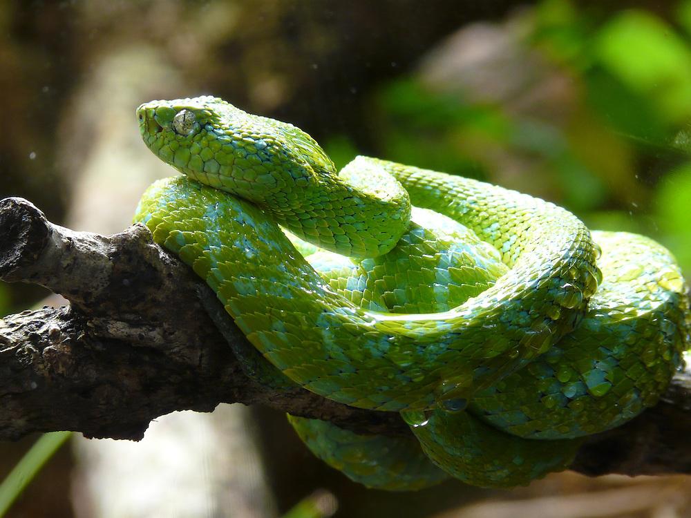 EN&gt; Snake portrait, a palm pit-viper<br /> SP&gt; Retrato de una serpiente: nauyaca de &aacute;rbol