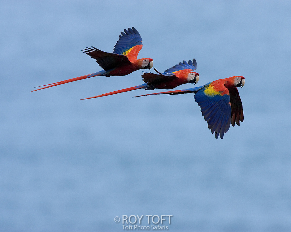 Three Scarlet macaws (Ara macao) in flight; over the ocean, Costa Rica.
