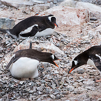 A gentoo penguin on its rocky nest defends against rock thieves on Danco Island in Antarctica.
