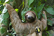 Brown-throated Three-toed Sloth <br /> Bradypus variegatus<br /> &quot;Daily diary&quot; transmitter attached to sloth<br /> Aviarios Sloth Sanctuary, Costa Rica<br /> *Captive - Rescued and in rehabilitation program