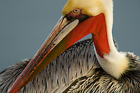 Brown Pelican (Pelecanus occidentalis), preening.