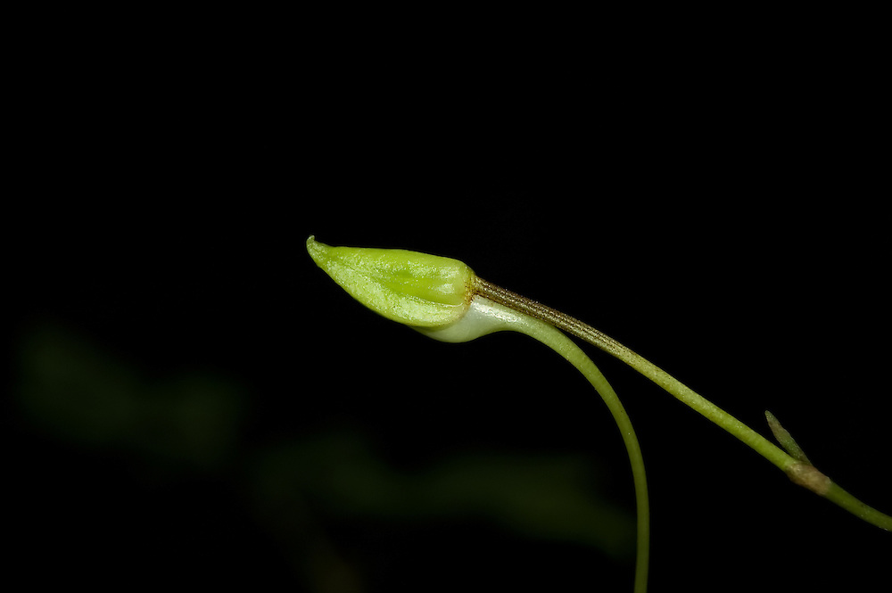 Close-up detail of a ghost orchid bud at night in the Fakahatchee Strand! Probably not recommended for the bravest of orchid hunters, the Fakahatchee Strand in SW Florida is an especially busy time at night! This bud opened a few days later.
