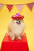 Pomeranion sitting on a red pedestal wearing a sombrero.<br /> Photographed at Photoville Photo Booth September 20, 2015
