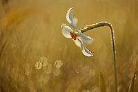 Poet's Daffodil (Narcissus poeticus), Piano Grande/Sibillini National Park, Italy; WWoE Mission