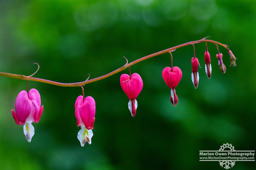 Bleeding hearts in Kodiak, Alaska garden