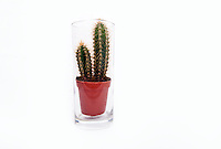 Cactus houseplant sitting in empty glass of water