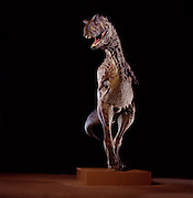 "Stephen Czerkas sculpted this Carnotaurus, now in the Natural History Museum of Los Angeles County.  At the Carnotaurus (""meat-eating bull"") excavation site in Argentina they discovered huge patches of fossilized skin impressions."