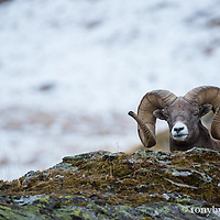 bighorn ram peaking over large rock