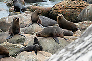 New Zealand fur seals (Arctocephalus forsteri) colonize Long Reef Point on the Tasman Sea near Martins Bay Hut, on the Hollyford Track, in Fiordland National Park, Southland region, South Island of New Zealand. After the arrival of Europeans in New Zealand, hunting reduced the seal population near to extinction. This mammal is known as kekeno in Maori language. Some call it Australasian fur seal, South Australian fur seal, Antipodean fur seal, or long-nosed fur seal.  In 1990, UNESCO honored Te Wahipounamu - South West New Zealand as a World Heritage Area.