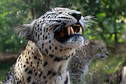 Close up an aggressive Leopard (Panthera pardus) in captivity