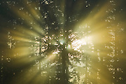 The sun's rays shine through trees into early morning fog, creating dramatic beams known as crepuscular rays.