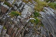 Black-legged kittiwake flies along beautiful seacliff on the Norway coast, © 2015 David A. Ponton