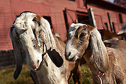 Goats at the farm and home of author and poet Carl Sandburg in Flat Rock, NC