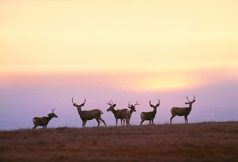 350606-1019 ~ Copyright:  George H. H. Huey ~ Mule deer bucks at sunrise on Santa Rosa Island.  Channel Islands National Park, California.