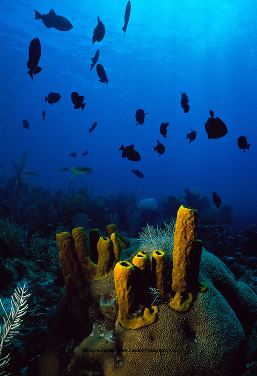 Black Durgons (Melichthys niger) with Giant Tube Sponges (Aplysina lacunosa).  Grand Cayman