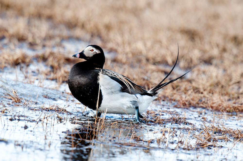 Male long-tailed duck (Clangula hyemalis) on tundra pond near Barrow Alaska