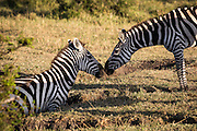Zebras greet each other at the edge of a watering hole.