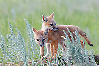 Wild swift fox pups near a den in southern Saskatchewan on the Canadian Prairies.