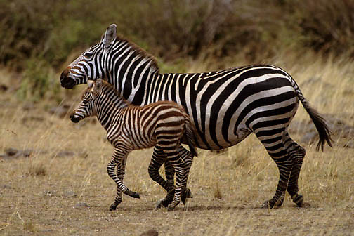 Burchell's Zebra, (Equus burchelli) Mother and baby running. Masai Mara Game Reserve. Kenya. Africa.