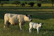 Mutterkuh in der Halboffenen Weidelandschaft oder Hudelandschaft in Crawinkel. Das Galloway-Rind stammt aus Südwest-Schottland und ist eine für die ganzjährige Freilandhaltung geeignete, kleine bis mittelgroße, hornlose Robust-Rasse. | The robust Galloway is a small to medium sized hornless breed.