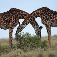 Africa, Kenya, Masai Mara Game Reserve, Two Giraffe  (Giraffa camelopardalis) eating side by side on savanna