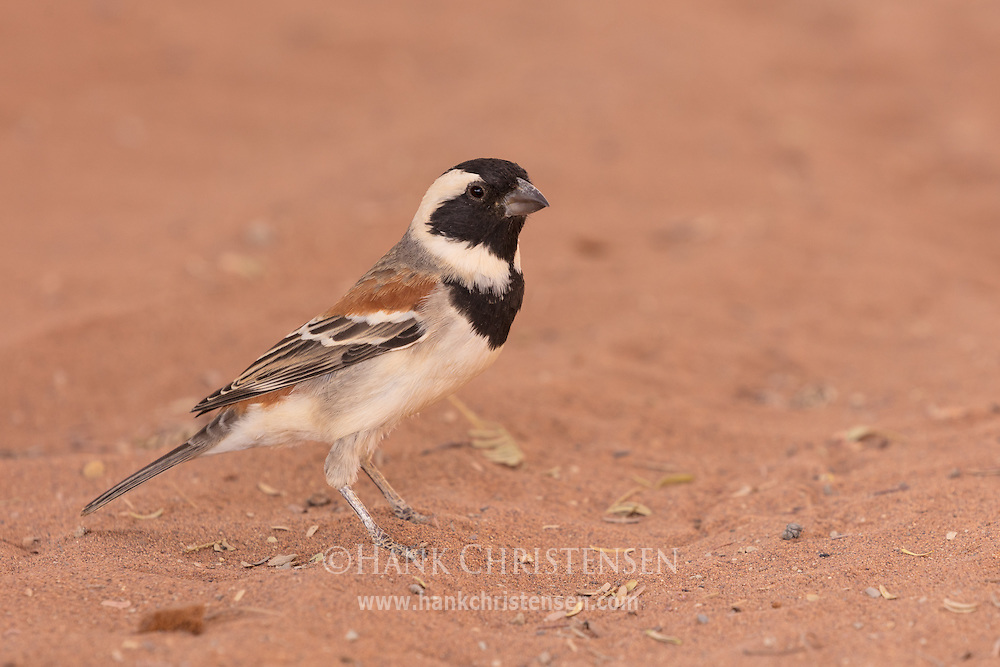 A male cape sparrow hops along the sandy ground, Namib-Naukluft National Park, Namibia.