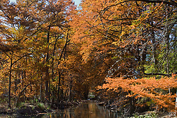 Stock photo of Bald Cypress - Taxodium distichum - Guadalupe River, Hunt, TX in the Texas Hill Country