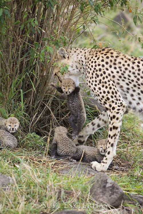 Cheetah<br /> Acinonyx jubatus<br /> Female carrying 9 day old cub<br /> Maasai Mara Reserve, Kenya