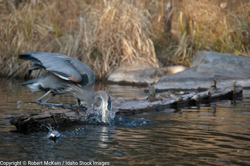 IDAHO. Boise. Morrison-Knudsen Nature Center. Great Blue Heron fishing in pond in winter. February 2006. #bh060206