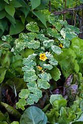 Nasturtium 'Alaska' with chicories in the vegetable garden